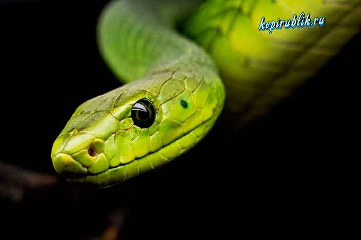 рептилия зелёного цвета